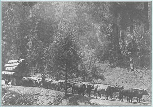 Early days – oxen pulling load to mill