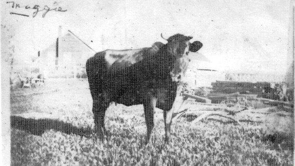 Maggie the Carlson's cow