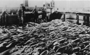 1920 King Salmon being canned