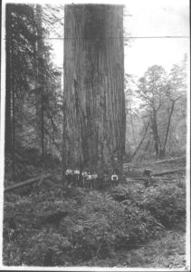 Large coastal redwood - location unknown
