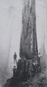 Big redwood with kerf - near Northspur