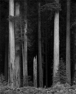 Giant redwoods - look at the size of the person at the bottom