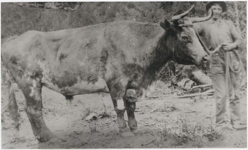 An ox with the bull puncher