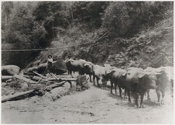 Oxen pulling logs uphill
