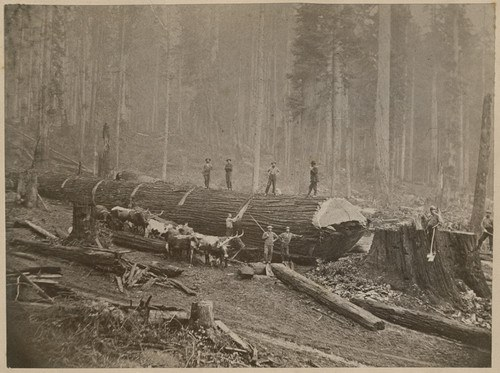 """Huge log being """"bucked"""" - cut into pieces"""