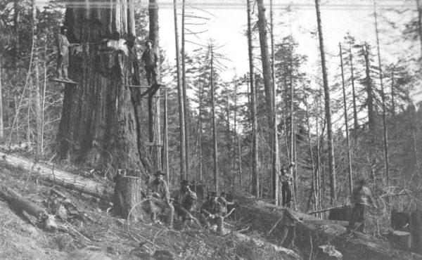 A rare shot of logging most probably in the late 1800's