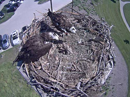 Looking down on an Osprey nest