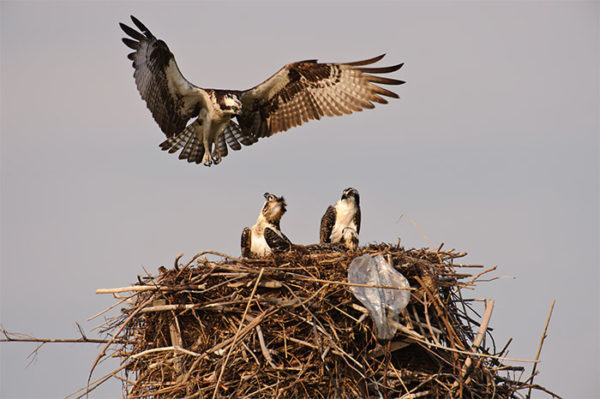 Osprey landing on its nest while chicks watch