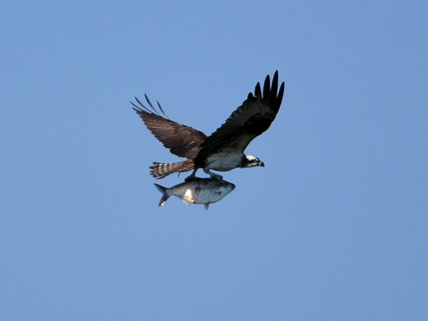 Osprey with fish - note siz of fish