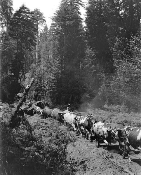 Logging team at Gualala