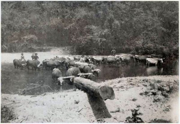 Oxen being watered