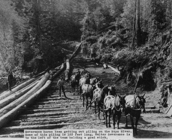 Horses pulling logs out of the woods to be used as pilings on River Noyo