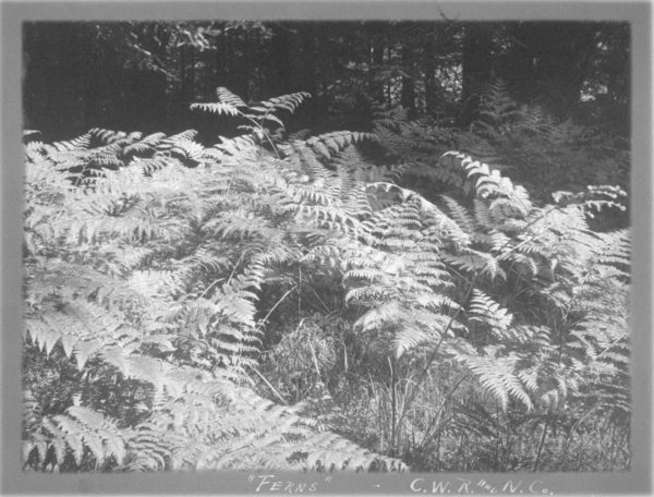 Ferns in Fern Flat