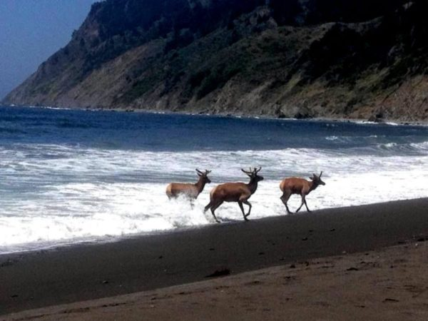 Deer  leaving the water on a Mendocino Coast beach