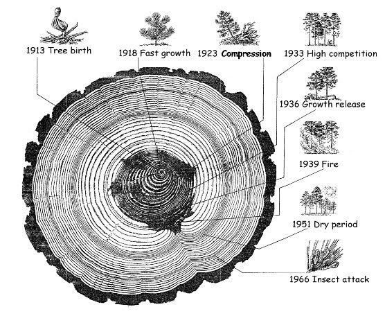 The story in tree rings