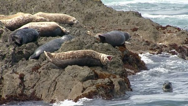 Seals at Laguna Point