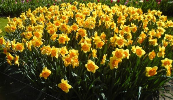 Daffodils as well as tulips and hyacinths
