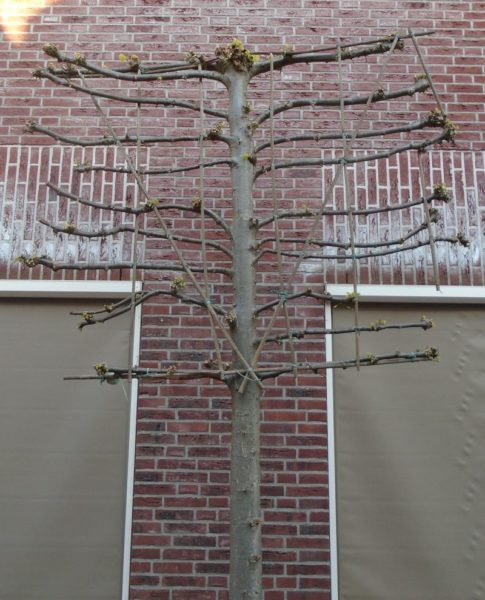 Espalier tree - one of manyEspalier tree - one of many