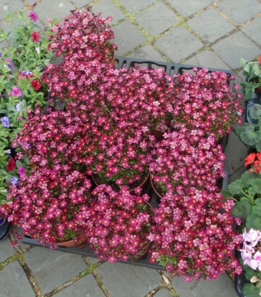 Flowers in pots for garden - great value too