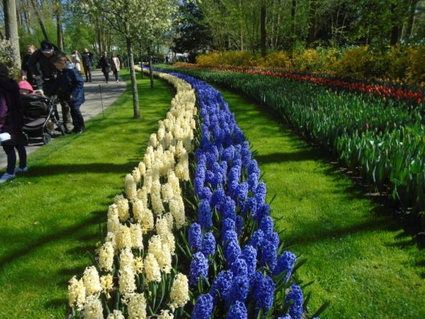 Hyacinths way into the distance