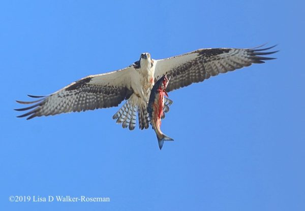 Osprey fishing #5