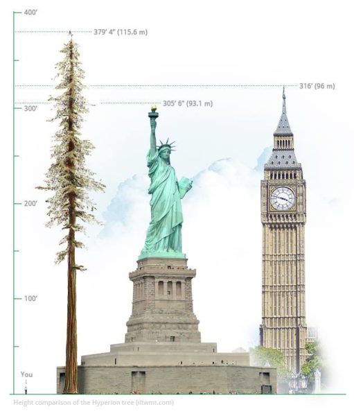 Tallest Redwood is taller than the Statue of Liberty and Big Ben