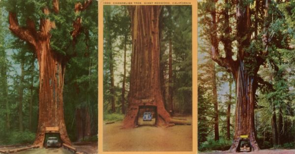 Old pictures of the Chandelier Tree in Leggett