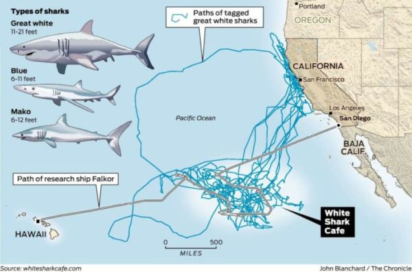 Paths of Tagged Great White Sharks