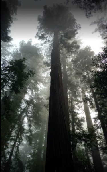 Redwood In Hendy Woods